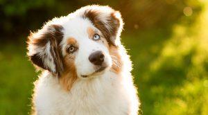 Satılık Köpek Arayanlar