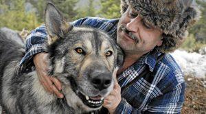 Wolf Dog Hybrid Köpek Eğitimi
