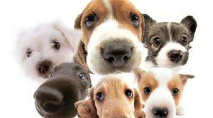 Satılık Dişi Rottweiler İzmir