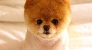 Satılık köpek Çin aslanı