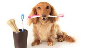 Samoyed Köpek Eğitimi