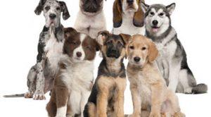 Satılık dişi Rottweiler yavruları