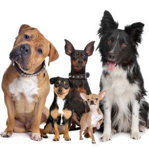 Yeşilköy Köpek Eğitimi
