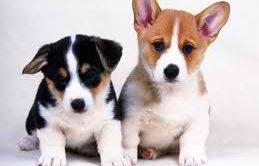 Terrier İskoç Köpek Eğitimi