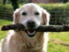 Shih Tzu Köpek Eğitimi