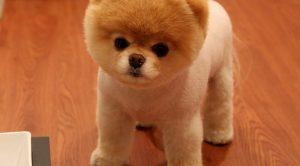 Köpek Eğitimi Pomeranian Boo