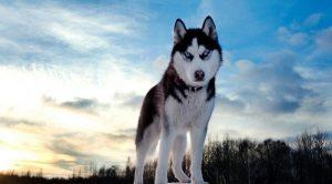 Köpek Eğitimi Husky