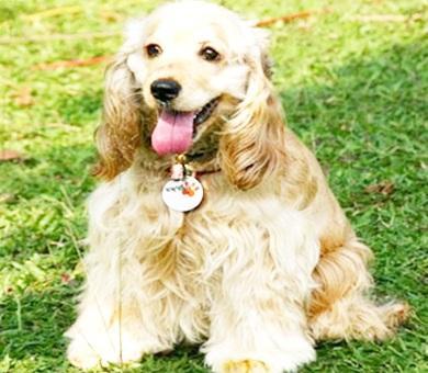 Köpek Eğitimi St Bernard