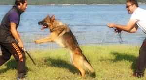 Köpeklerde Bodyguard Eğitimi Nedir
