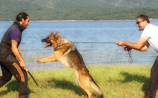 Köpeklerde Bodyguard Eğitimi Nedir?