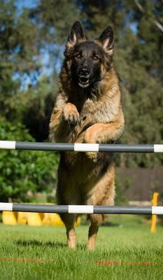 Terrier Maltese Köpek Eğitimi