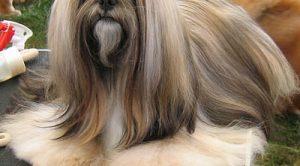 Lhasa Apsa Köpek Eğitimi