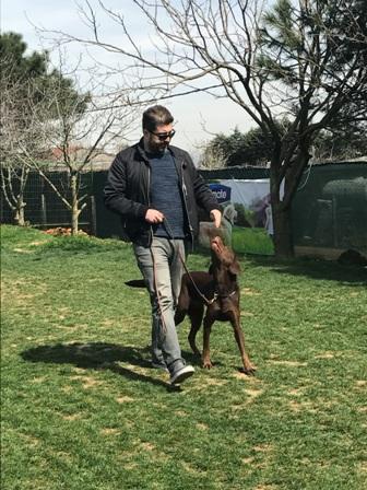 BullTerier Köpek Eğitimi