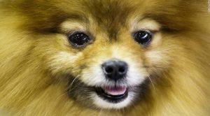 Shar Pei Köpek Eğitimi