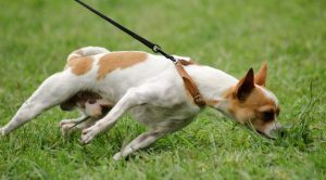 Yorkshire Terrier Köpek Eğitimi