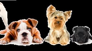 Terrier Airedale Köpek Eğitimi