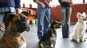 Rottweiler Köpek Eğitimi