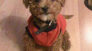 Köpek Eğitimi Toy Poodle