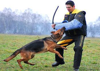 Belgian Malinois Köpek Eğitimi