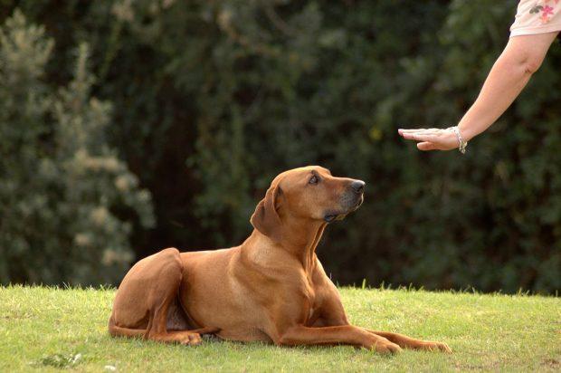 Köpek Eğitimi Bulldog